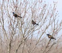 Common grackles in Concord, photographed by Steve Forman.