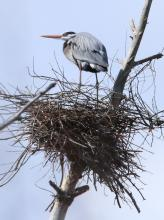 A great blue heron in Concord, photographed by Steve Forman.