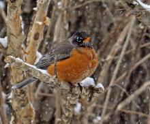 An American robin in Framingham, photographed by Joan Chasan.