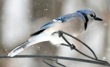 A blue jay in Framingham, photographed by Steve Forman.
