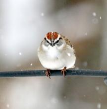 A chipping sparrow in Framingham, photographed by Steve Forman.
