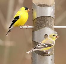 American goldfinches in Lincoln, photographed by Steve Forman.