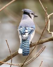 A blue jay in Lincoln, photographed by Steve Forman.