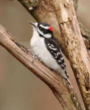 A downy woodpecker in Lincoln, photographed by Steve Forman.