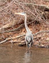 A great blue heron at the Sudbury Reservoir in Marlborough, photographed by Steve Forman.