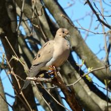 A mourning dove in Southborough, photographed by Sandy Howard.