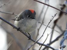 A ruby crowned kinglet at Heard Farm Conservation Area in Wayland, photographed by Lisa Eggleston.