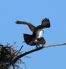 Ospreys in Hopkinton, photographed by Steve Forman.