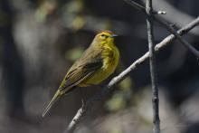A palm warbler at Great Meadows National Wildlife Refuge in Concord, photographed by Greg Dysart.