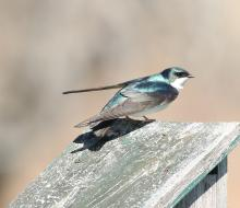 A tree swallow at Breakneck Hill Conservation Area in Southborough, photographed by Steve Forman.