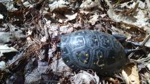 A spotted turtle at Woodhaven Farm in Carlisle, photographed by Dan Stimson.