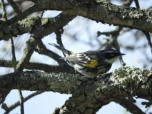 A yellow-rumped warbler at Heard Farm in Wayland, photographed by Lisa Eggleston.