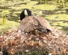 A Canada goose at Broadmoor Wildlife Sanctuary in Natick, photographed by Steve Forman.
