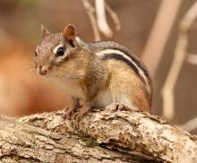 An eastern chipmunk at Broadmoor Wildlife Sanctuary in Natick, photographed by Steve Forman.