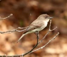 An eastern phoebe at Broadmoor Wildlife Sanctuary in Natick, photographed by Steve Forman.