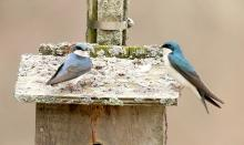 Tree swallows at Broadmoor Wildlife Sanctuary in Natick, photographed by Steve Forman.