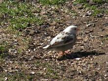 A partially leucistic white-throated sparrow in Wayland, photographed by Ron Balk.