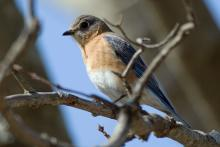 An eastern bluebird in Framingham, photographed by Lawson Frazier.