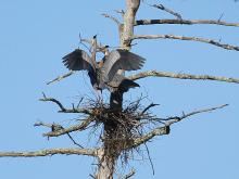 Great blue herons at Assabet River National Willdlife Refuge in Maynard, photographed by Craig Smith.