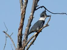 A belted kingfisher at Assabet River National Willdlife Refuge in Maynard, photographed by Craig Smith.