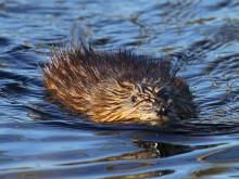 A muskrat at Assabet River National Willdlife Refuge in Maynard, photographed by Craig Smith.