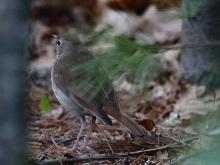 An ovenbird at Assabet River National Willdlife Refuge in Sudbury, photographed by Craig Smith.