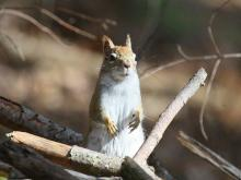 A red squirrel at Assabet River National Willdlife Refuge in Maynard, photographed by Craig Smith.