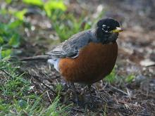 An American robin at Assabet River National Willdlife Refuge in Maynard, photographed by Craig Smith.