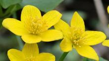 Marsh marigolds at SVT's Lyons-Cutler Reservation in Sudbury, photographed by Garry Kessler.
