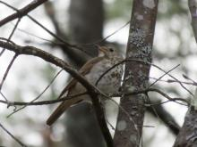 A wood thrush at Assabet River National Wildlife Refuge in Sudbury, photographed by Lisa Eggleston.