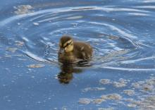 A mallard duckling at Hager Pond in Marlborough, photographed by Sue Feldberg.