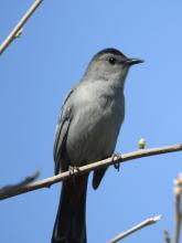 A gray catbird at Heard Farm in Wayland, photographed by Lisa Eggleston.