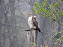 A red-tailed hawk at Heard Farm in Wayland, photographed by Lisa Eggleston.