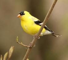 An American goldfinch in Lincoln, photographed by Steve Forman.