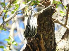 A black-and-white warbler at Heard Farm in Wayland, photographed by Lisa Eggleston.