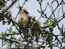 Cedar waxwings at Heard Farm in Wayland, photographed by Lisa Eggleston.