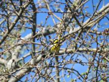 A magnolia warbler at Heard Farm in Wayland, photographed by Lisa Eggleston.