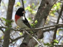 A rose-breasted grosbeak at Heard Farm in Wayland, photographed by Lisa Eggleston.