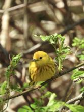 A yellow warbler at Heard Farm in Wayland, photographed by Lisa Eggleston.
