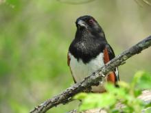 An eastern towhee in Sudbury, photographed by Lisa Eggleston.