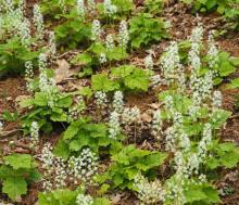 Foamflower at Garden in the Woods in Framingham, photographed by Joan Chasan.