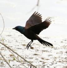 A common grackle at Farm Pond in Framingham, photographed by Steve Forman.