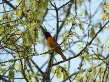 A Baltimore oriole in Sudbury, photographed by Lisa Eggleston.
