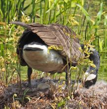 A Canada goose with eggs in Natick, photographed by Joan Chasan.