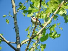A chestnut-sided warbler in Sudbury, photographed by Lisa Eggleston.