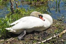 A mute swan in Natick, photographed by Joan Chasan.