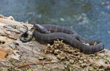 A northern water snake in Natick, photographed by Joan Chasan.