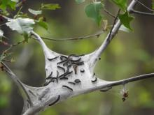 Tent caterpillars in Wayland, photographed by Lisa Eggleston.