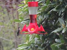 A ruby-throated hummingbird in Stow.