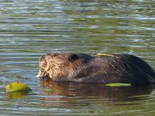 A beaver in Concord, photographed by Terri Ackerman.